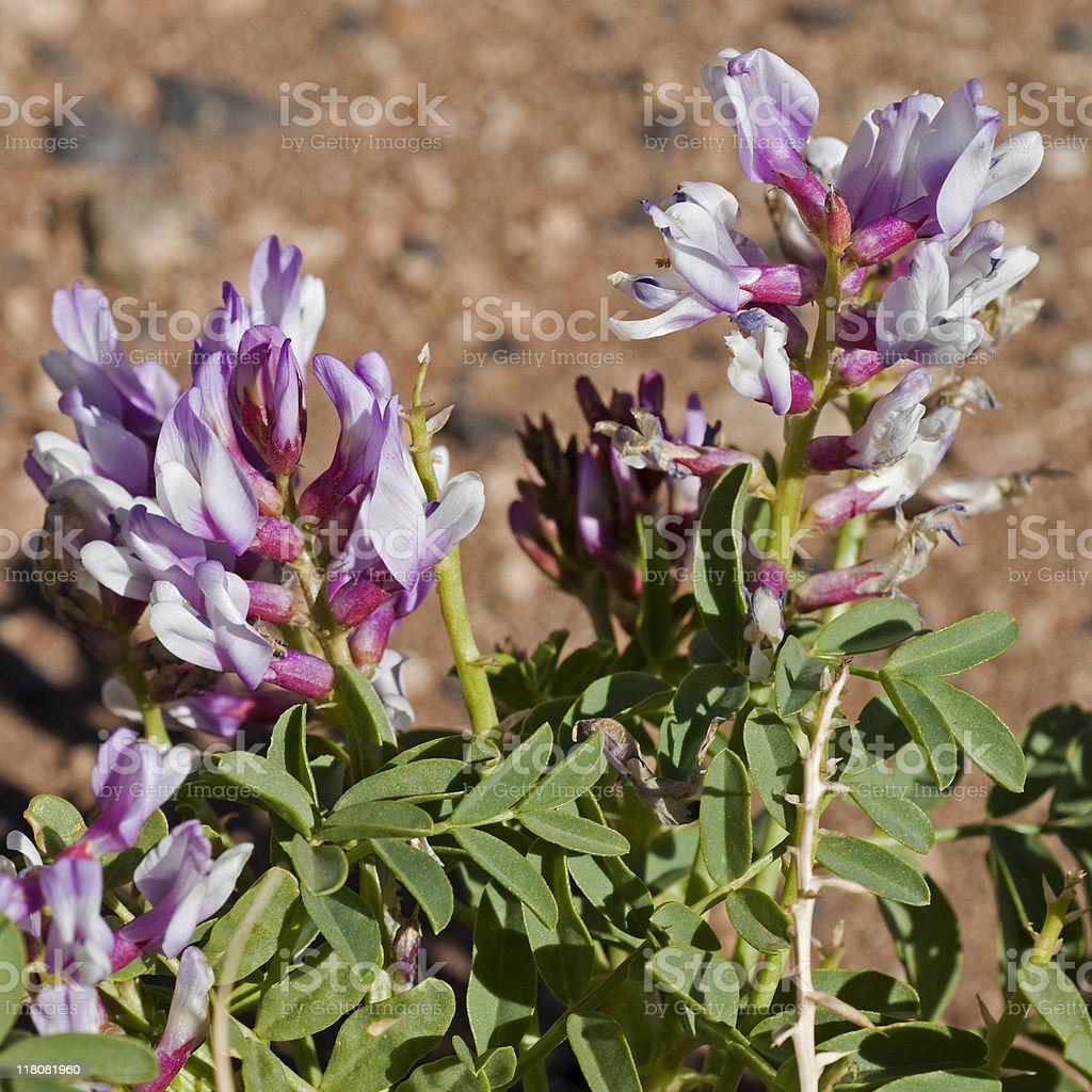 locoweed, Astragalus species, lvender flowers stock photo