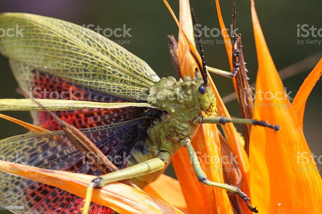 Locust and Strelitzia royalty-free stock photo