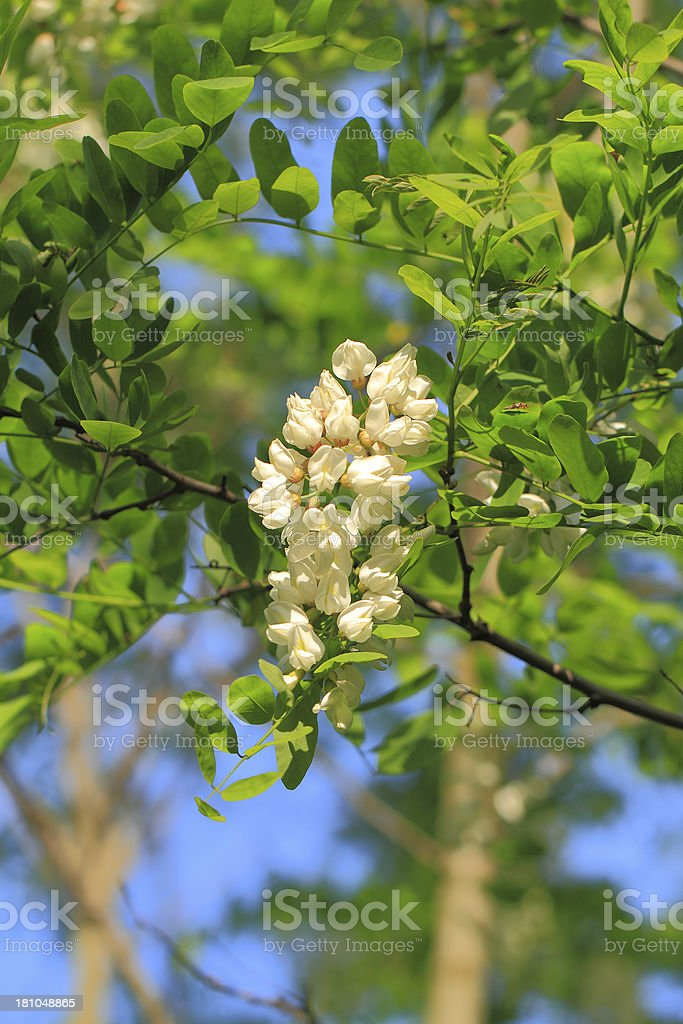 Locust blossom royalty-free stock photo