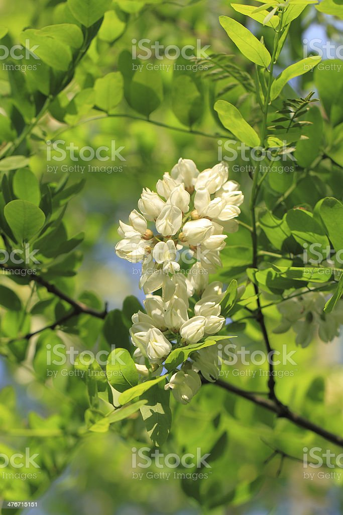 Locust blossom stock photo