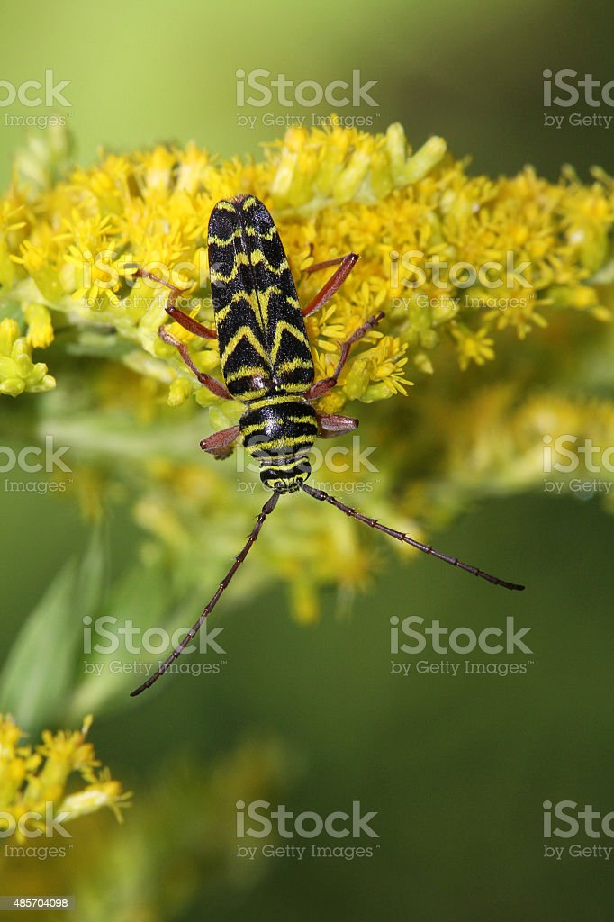 Locust Borer (Megacyllene robiniae) stock photo