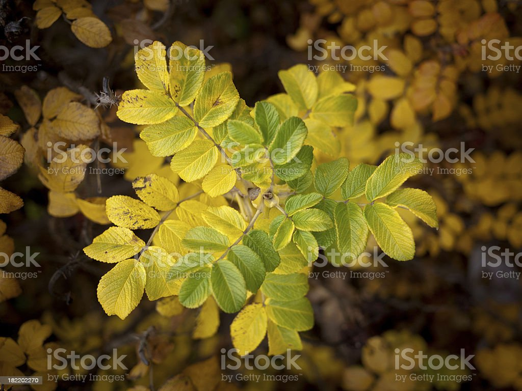 Locust Bush in Autumn royalty-free stock photo