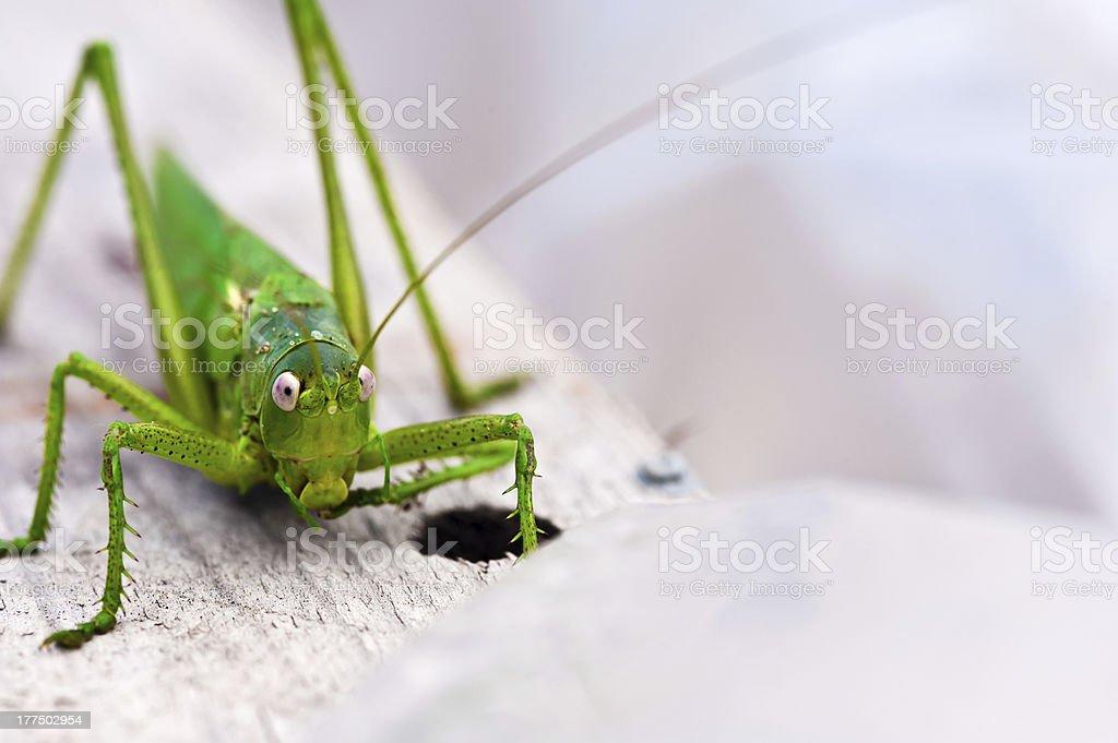 locust closeup royalty-free stock photo