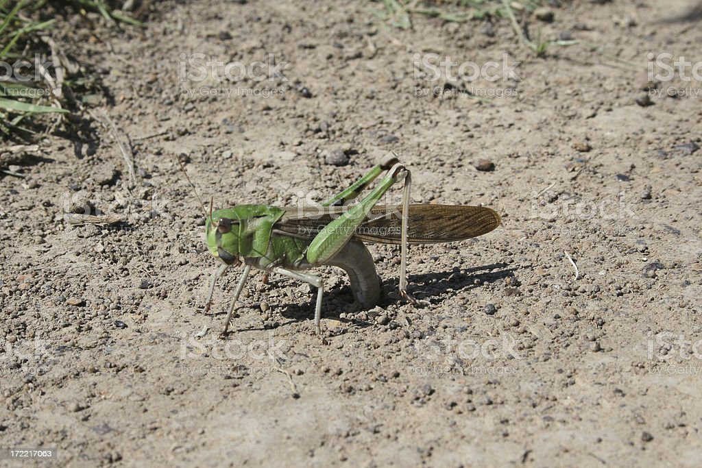 Locust depositing eggs stock photo
