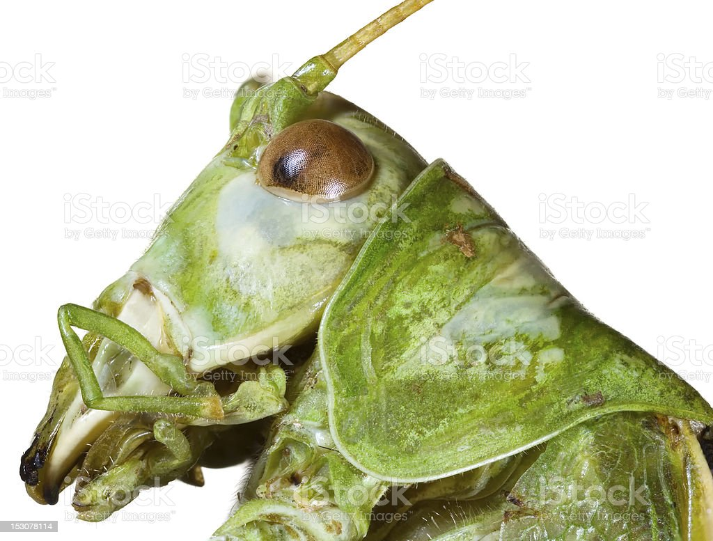 Locust Head Cutout royalty-free stock photo