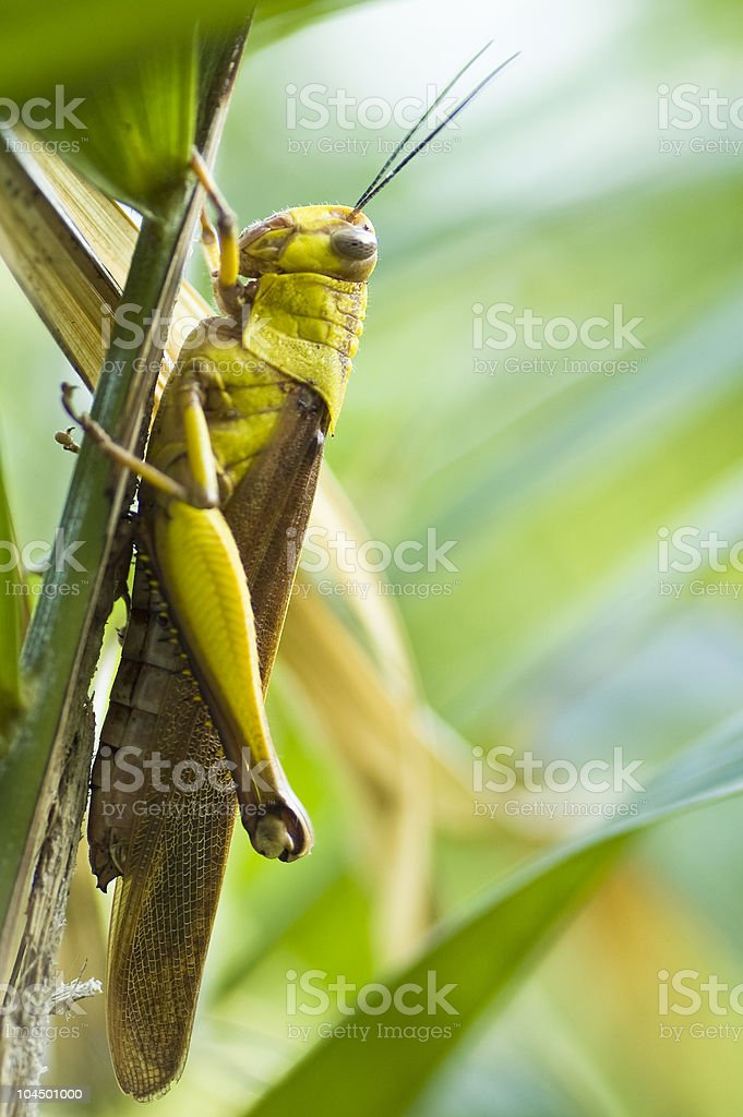 Locust in Balinese garden royalty-free stock photo