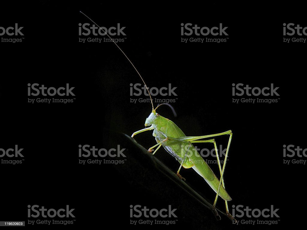 Locust in black background. Insect macro royalty-free stock photo
