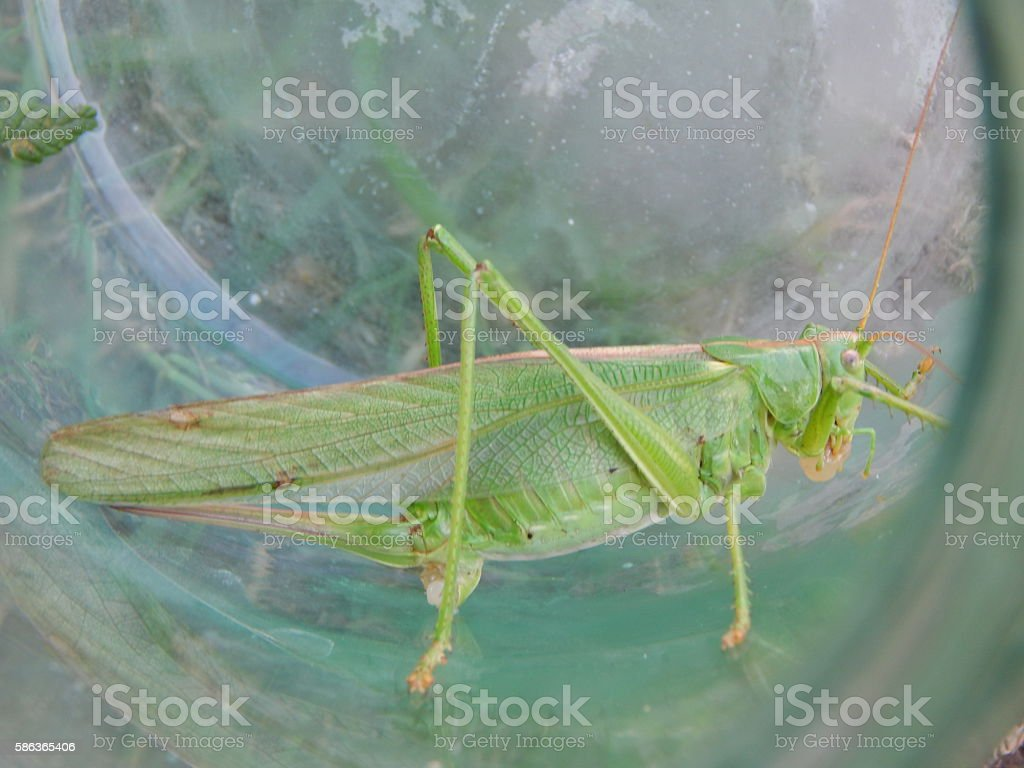 Locust insect in jar closeup stock photo