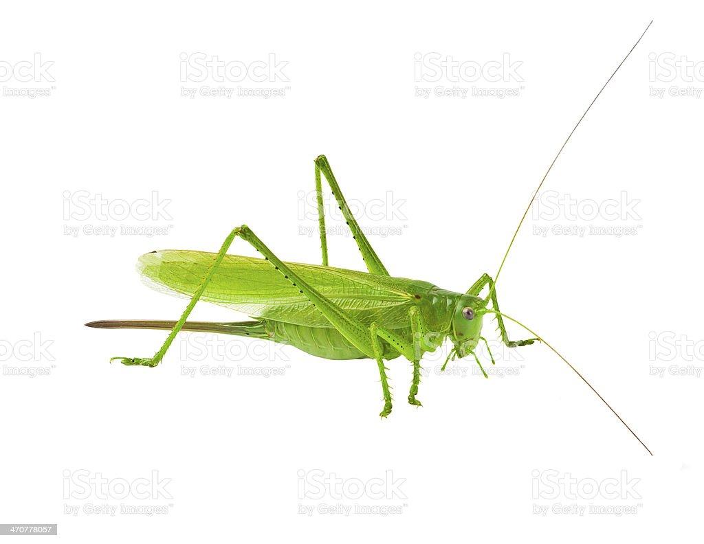 Locust isolated on white background royalty-free stock photo