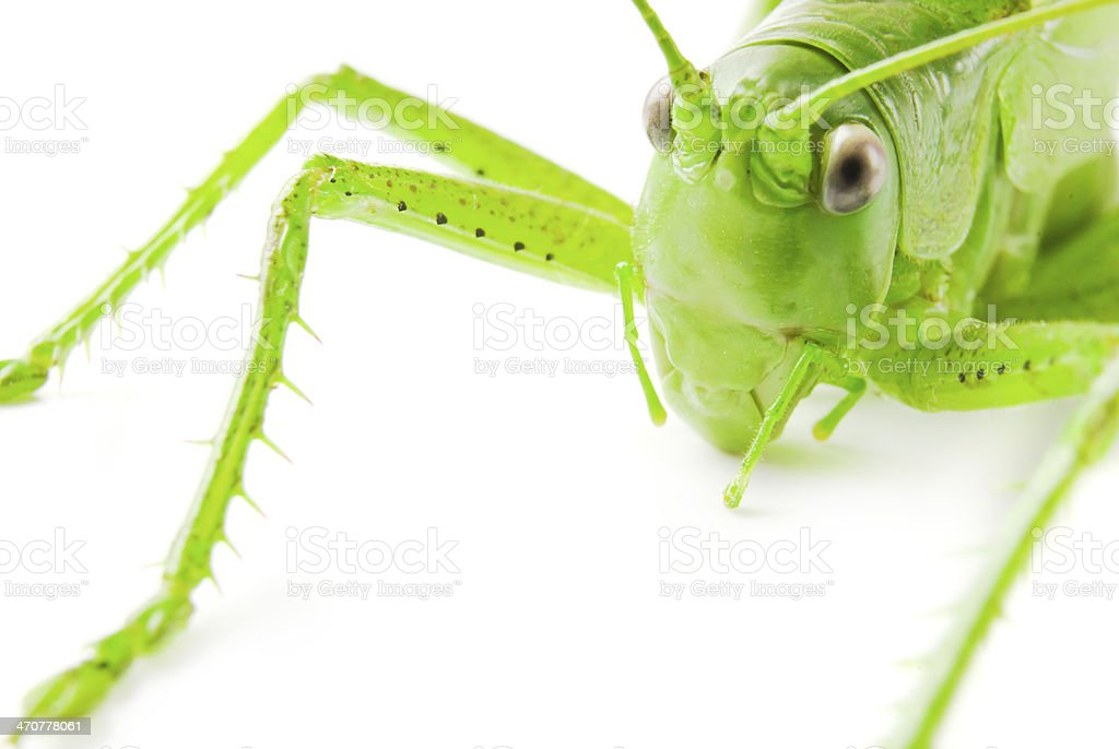 Locust isolated on white background stock photo