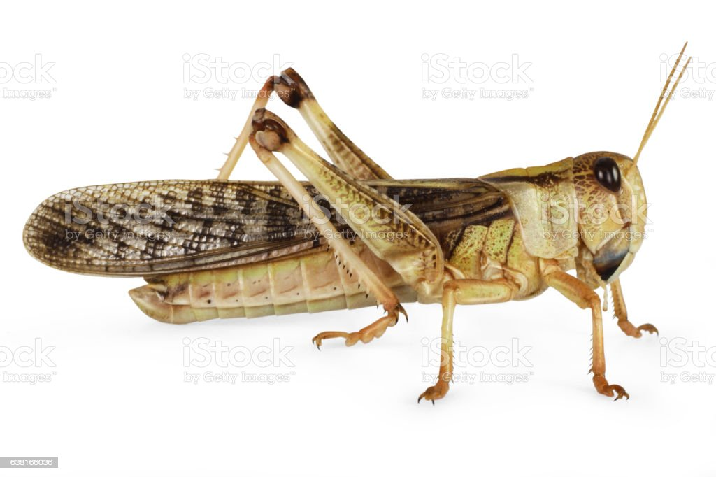 Locust isolated on white stock photo