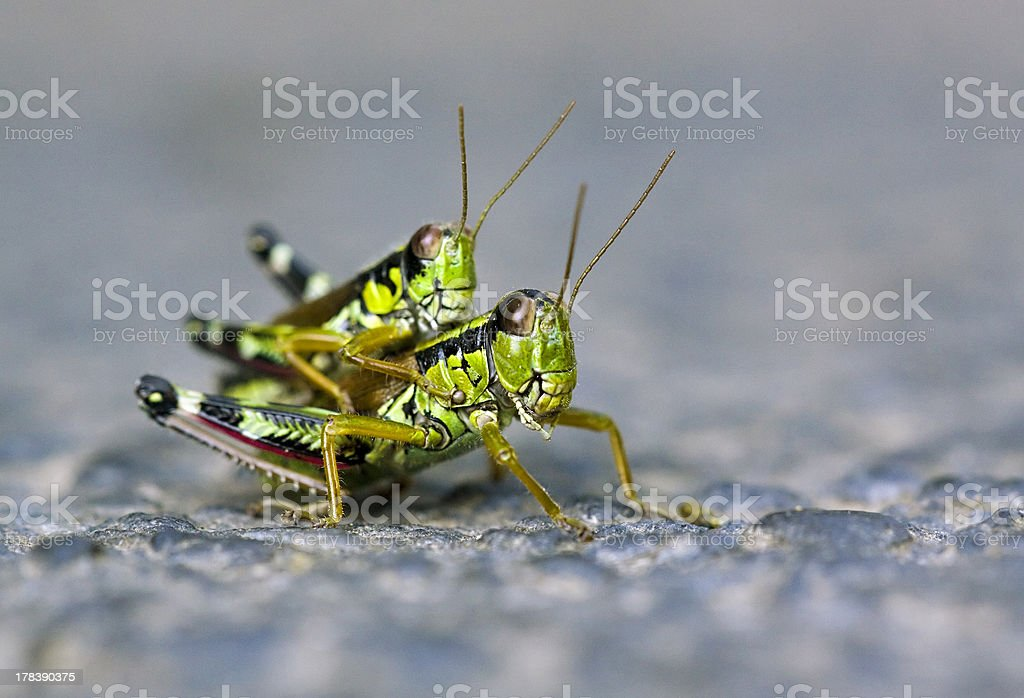 Locust love royalty-free stock photo