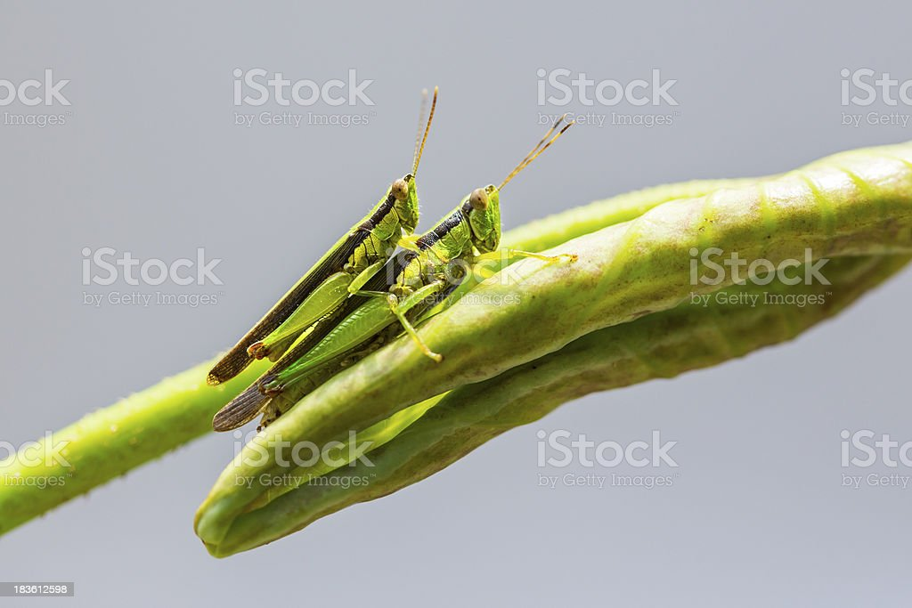 Locust matting royalty-free stock photo