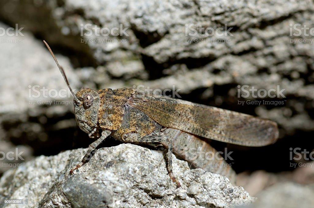 locust - Oedipoda germanica royalty-free stock photo