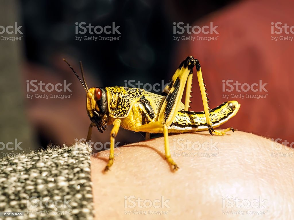 Locust of black and yellow color sits on the hand stock photo