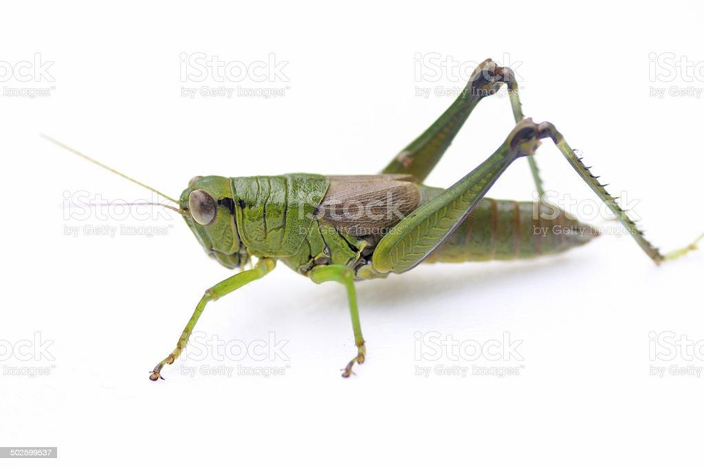 Locust of Japan stock photo