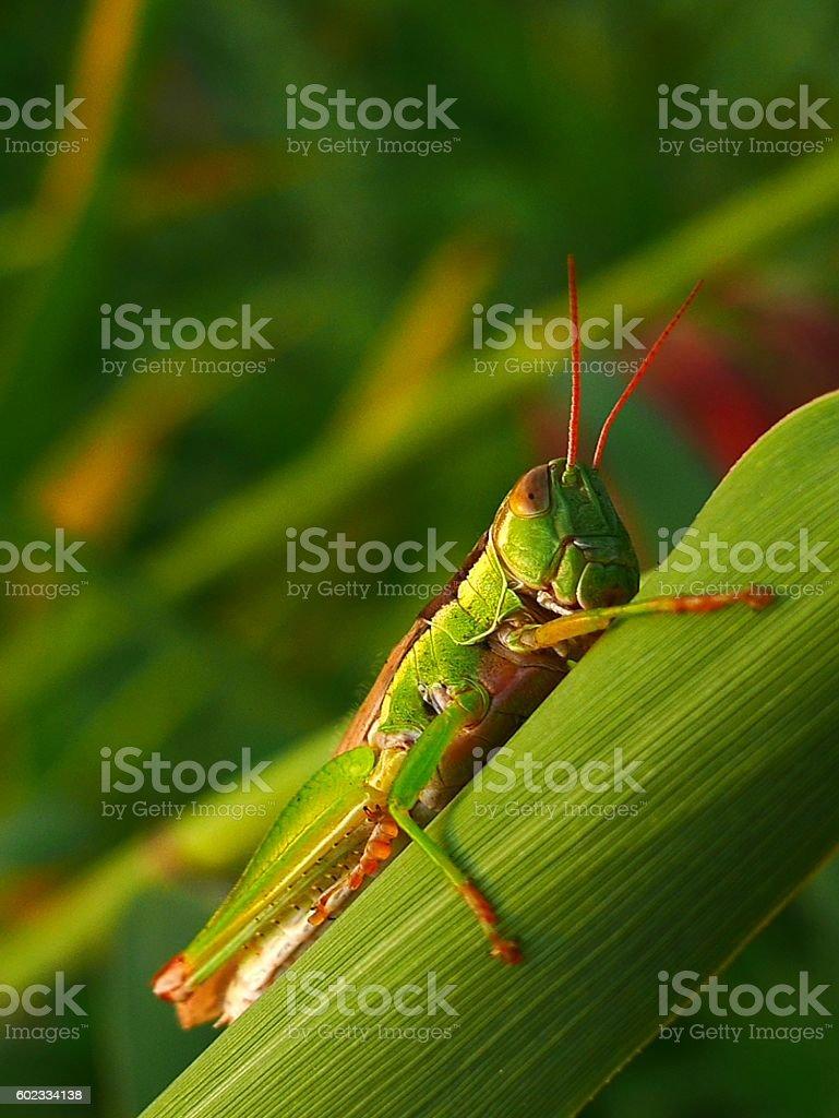 locust on a leaf stock photo