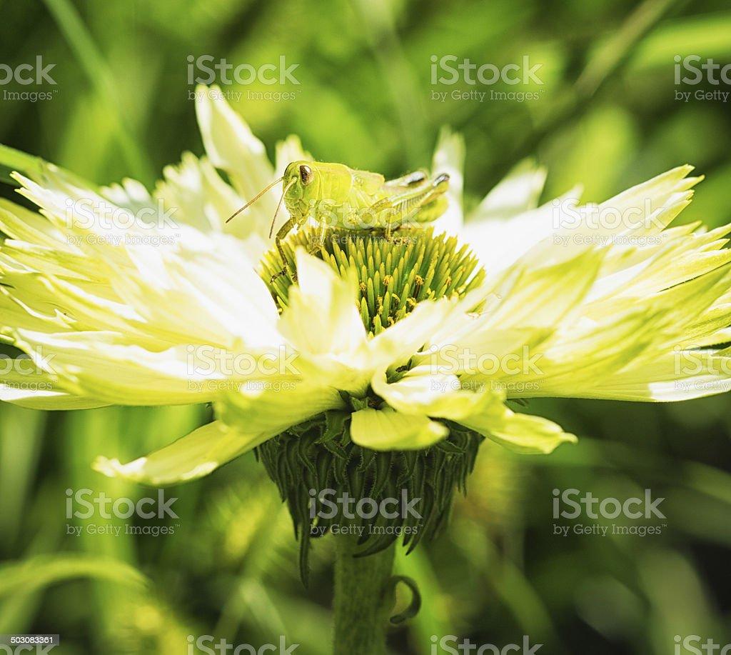 Locust on an white echinacea flower royalty-free stock photo