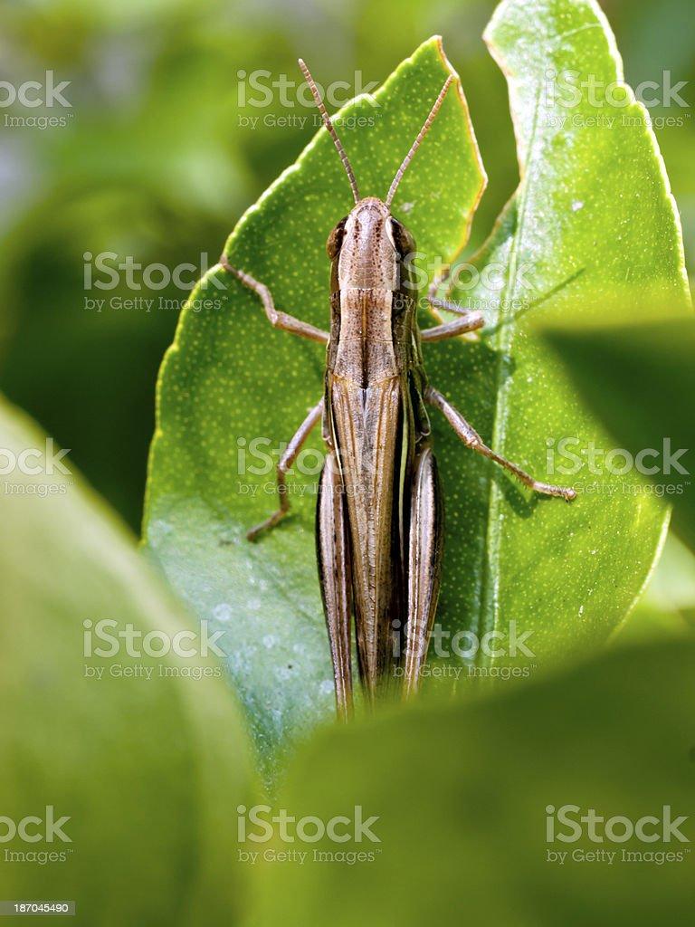 Locust on leaf royalty-free stock photo