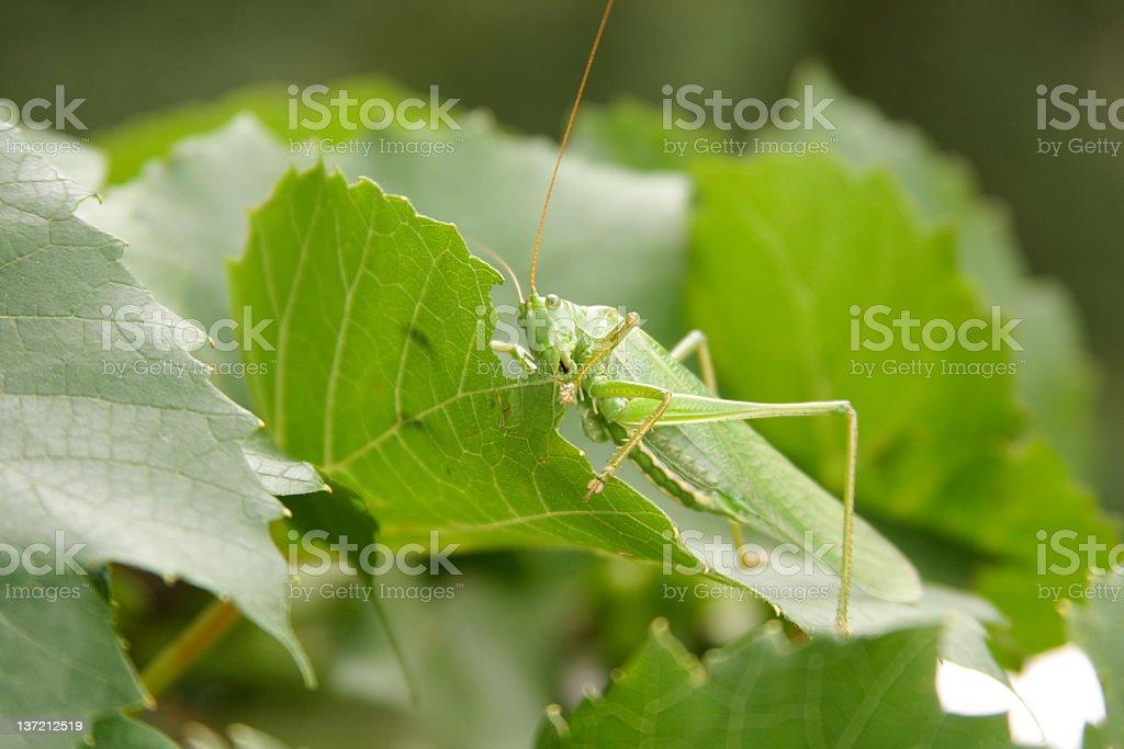 Locust on leaves royalty-free stock photo
