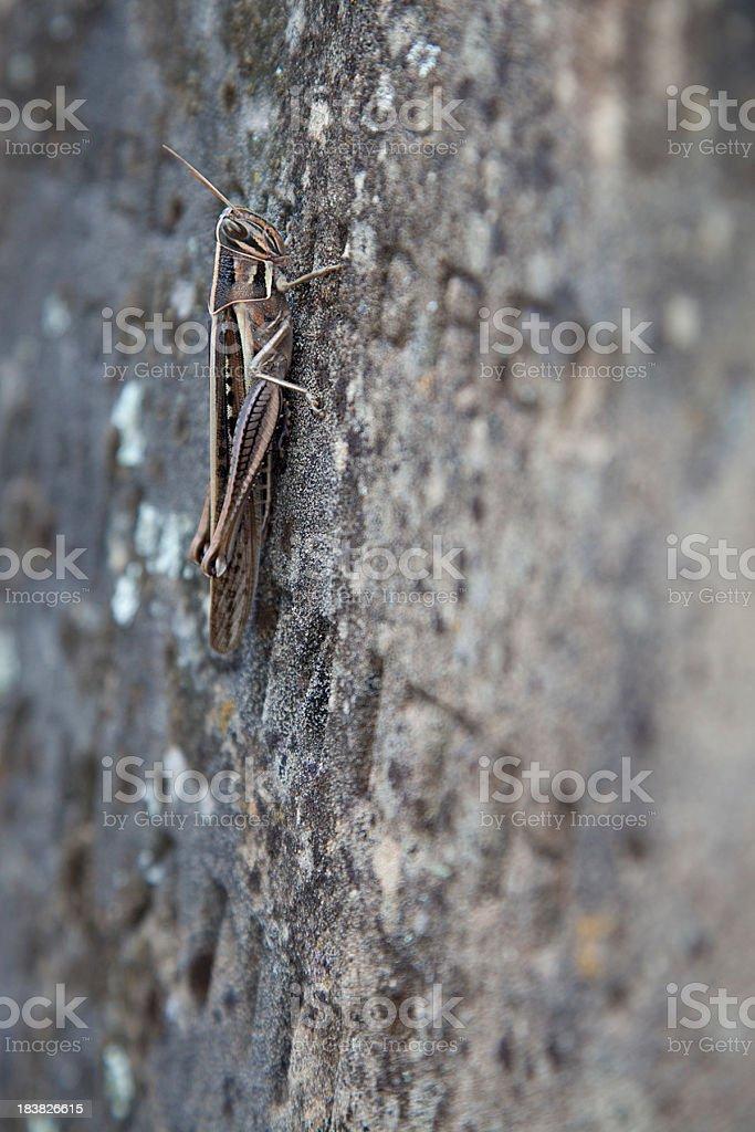 Locust on old headstone royalty-free stock photo