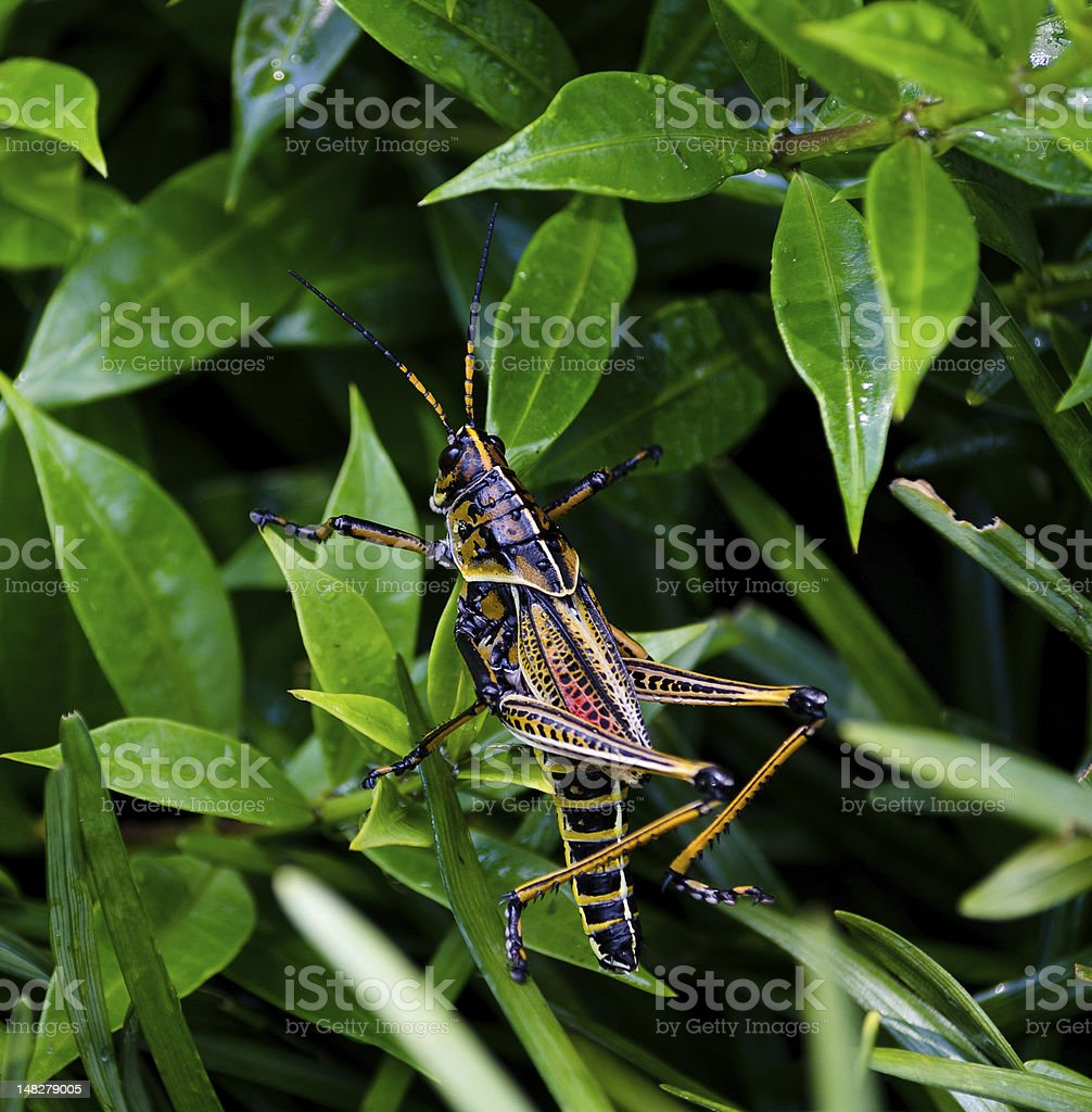 Locust on Plant Leaves royalty-free stock photo