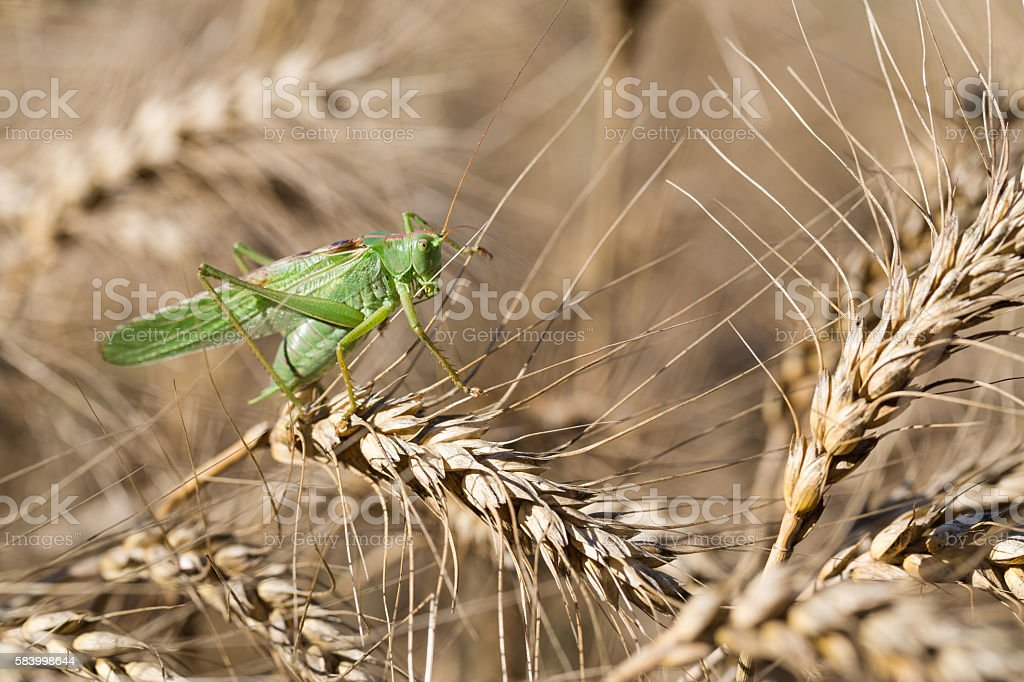 Locust on ripe wheat. stock photo