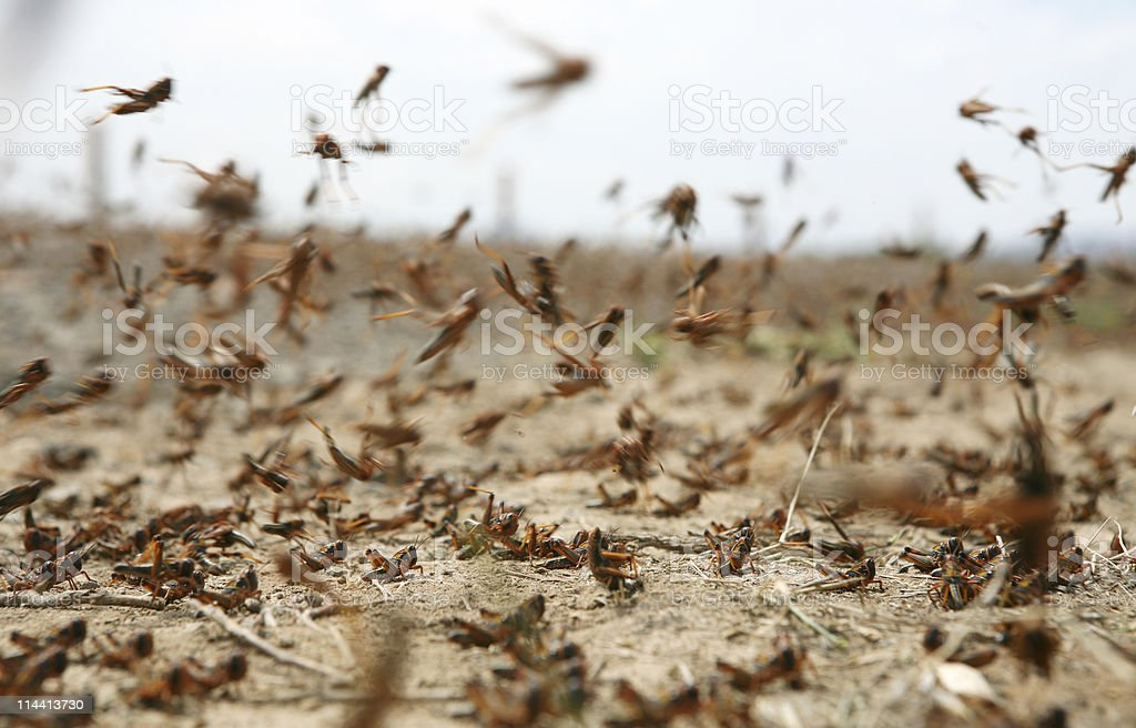 locust on the move stock photo