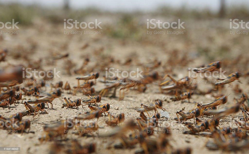 locust on the move stock photo