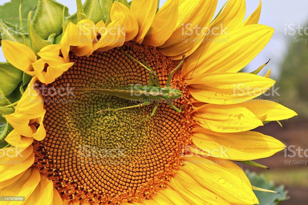 Locust on the sunflower royalty-free stock photo