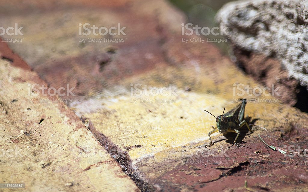 Locust on the wall royalty-free stock photo
