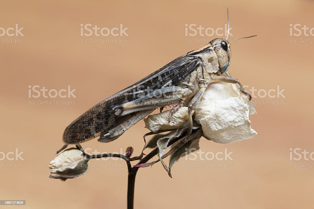 Locust on white Rose stock photo