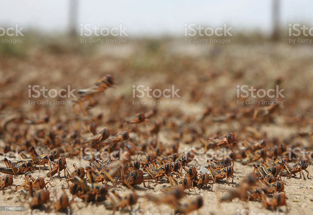 locust plague stock photo