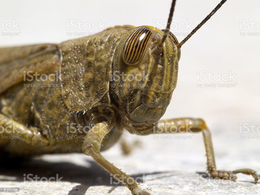 locust portrait royalty-free stock photo