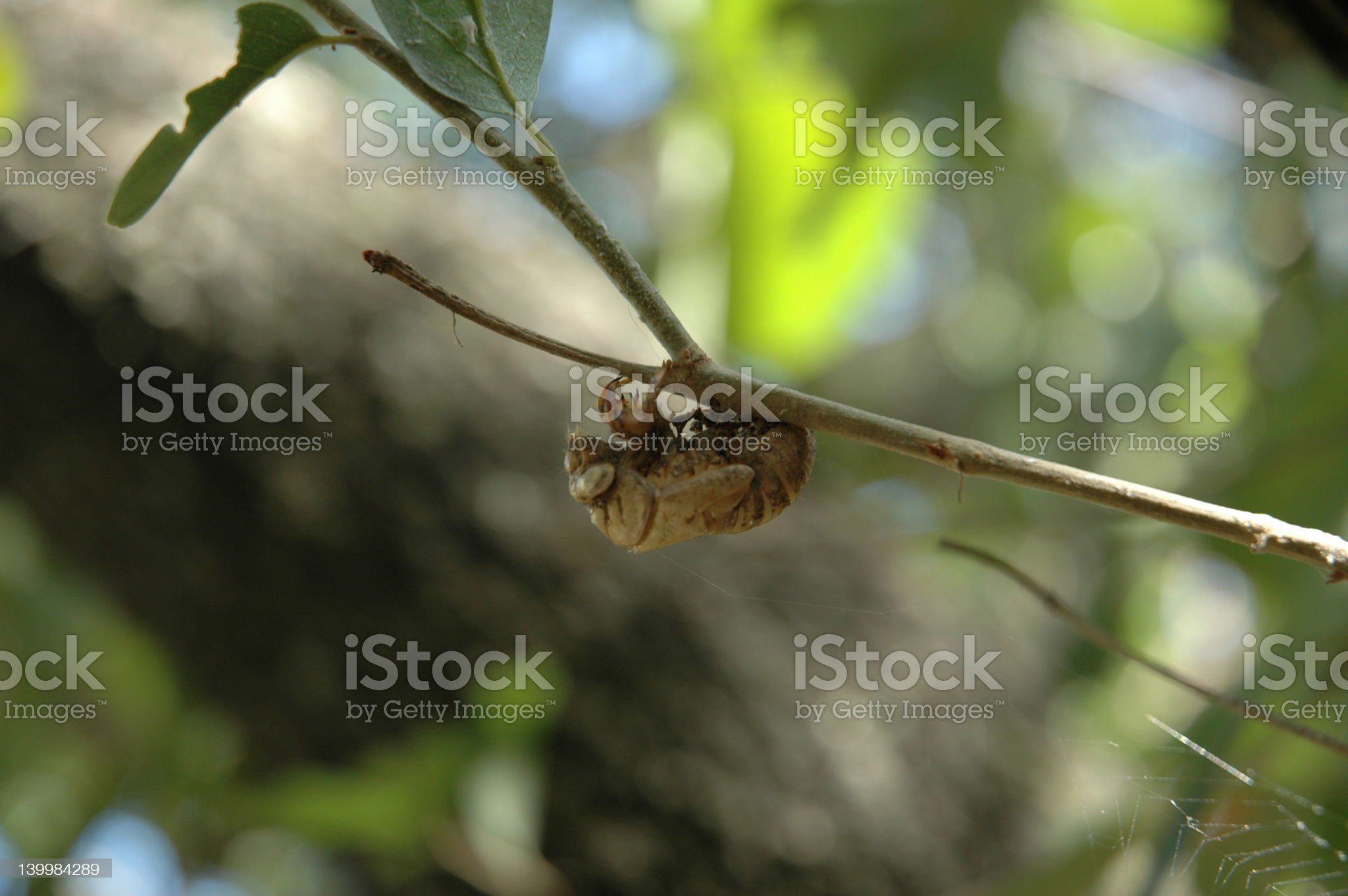 locust shell on stick royalty-free stock photo