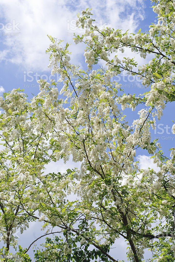 Locust Tree stock photo