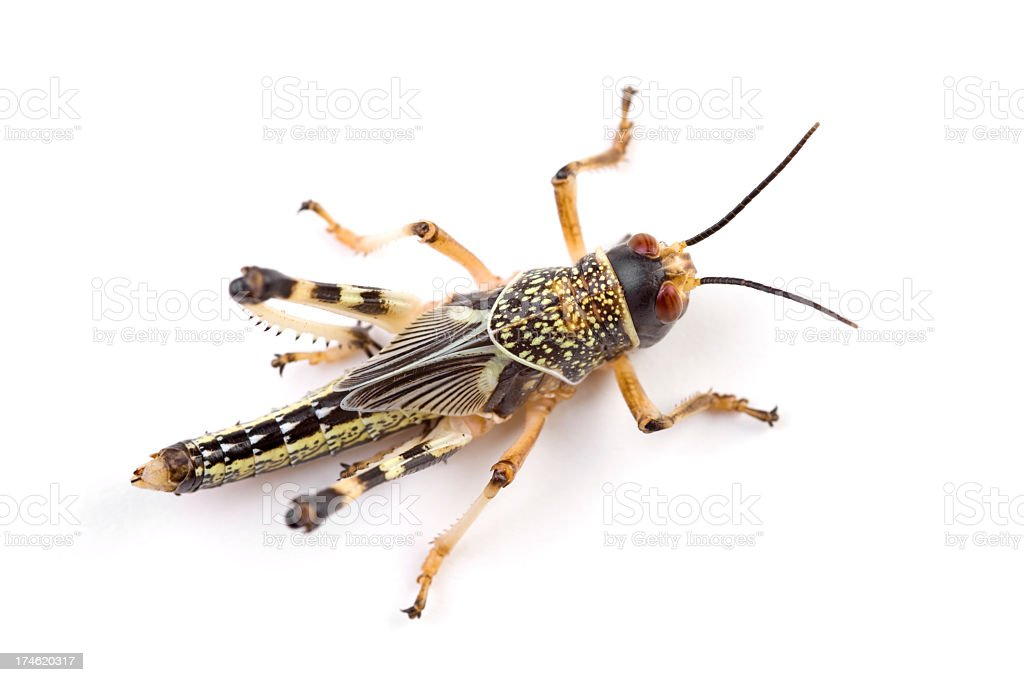 locust XXL stock photo