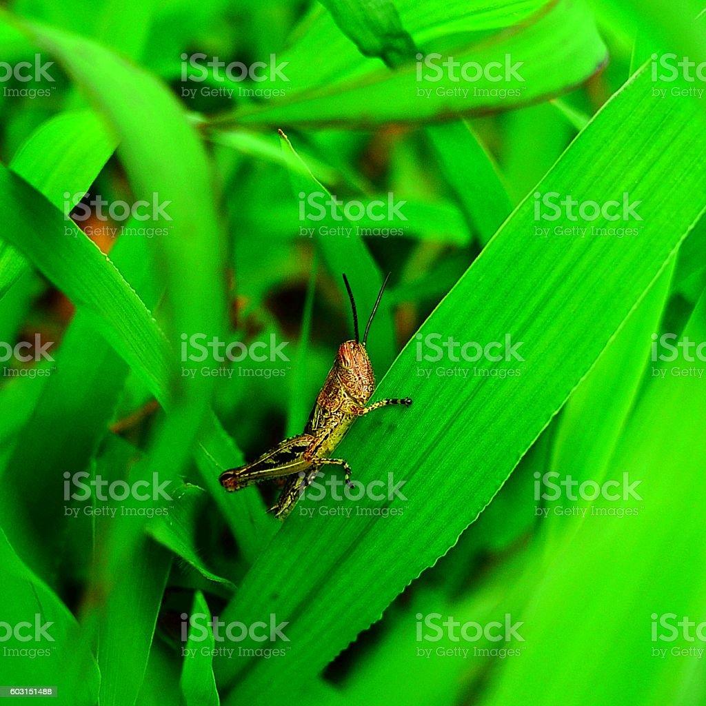Locusta migratoria on a leaf stock photo