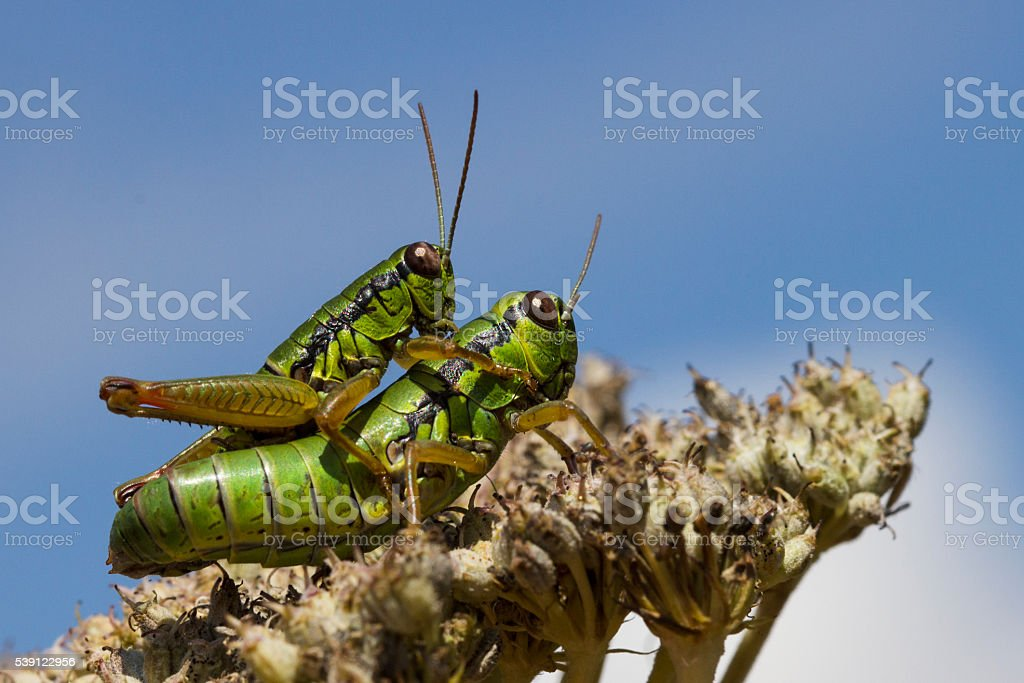 Locusts in love - animal mating stock photo