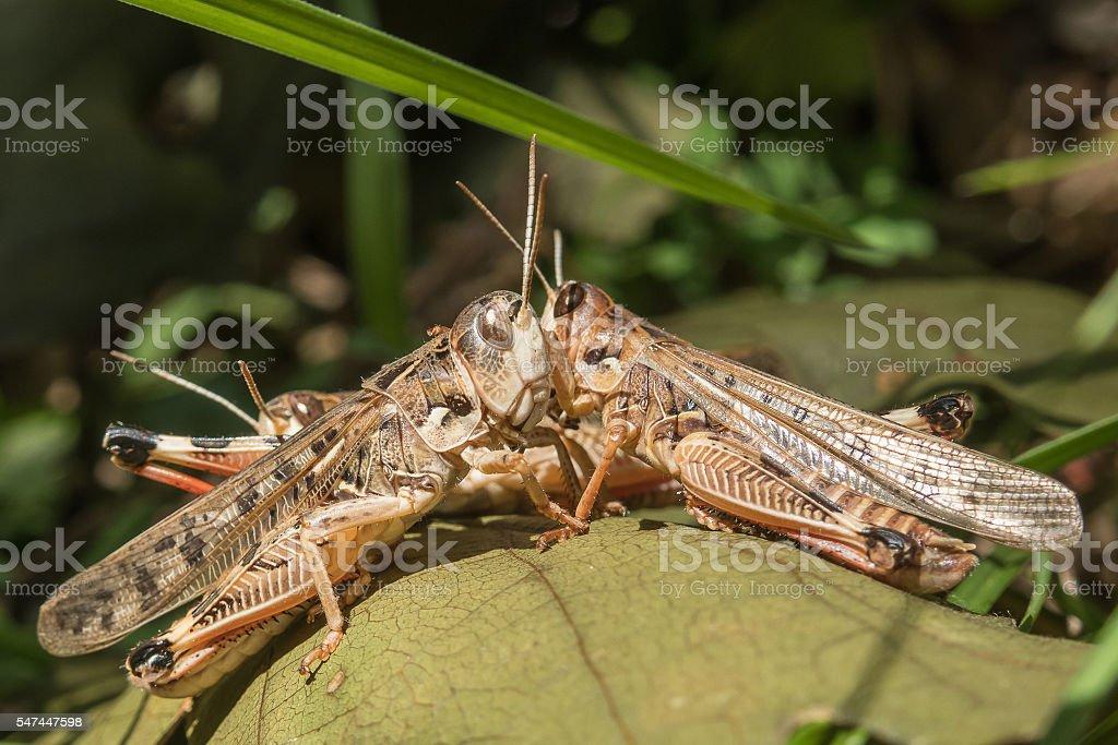 Locusts in the Krasnodar region, Russia stock photo