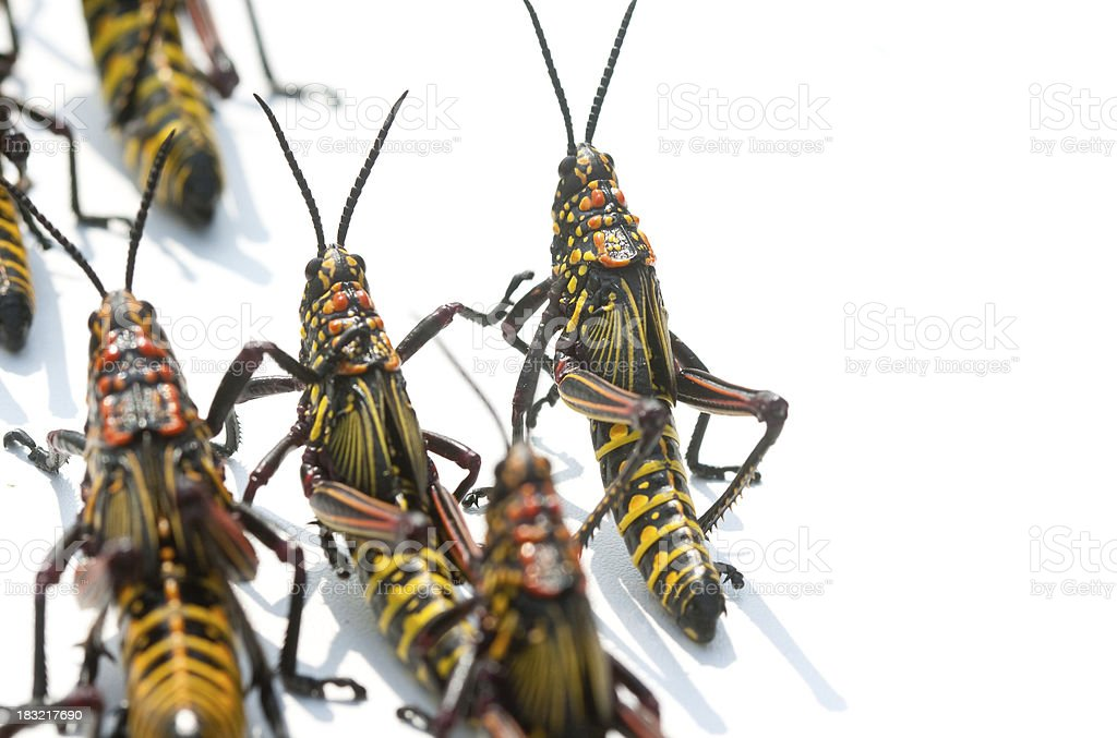 Locusts on the march royalty-free stock photo