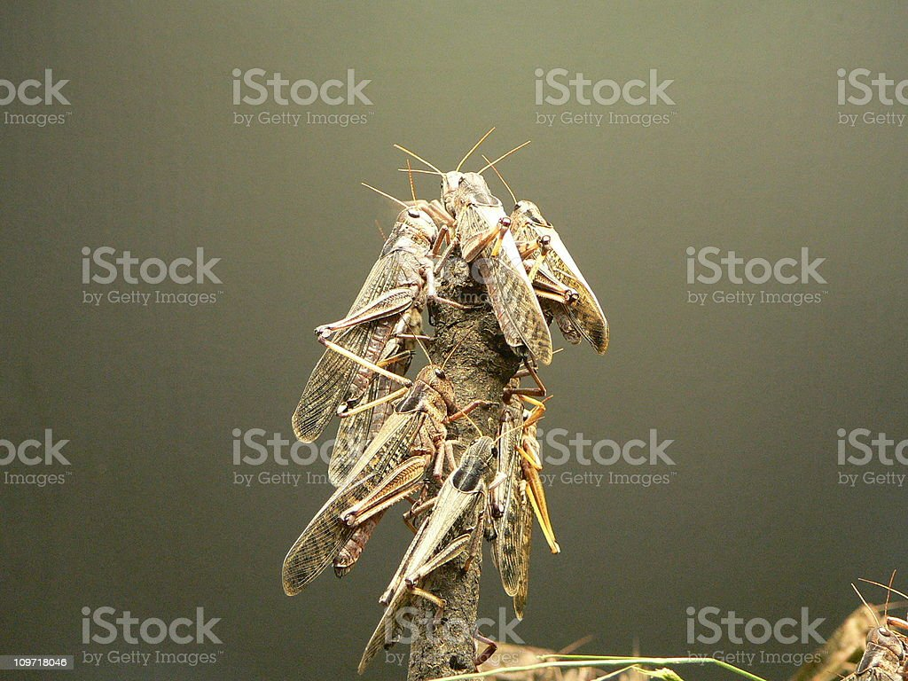 locusts stock photo