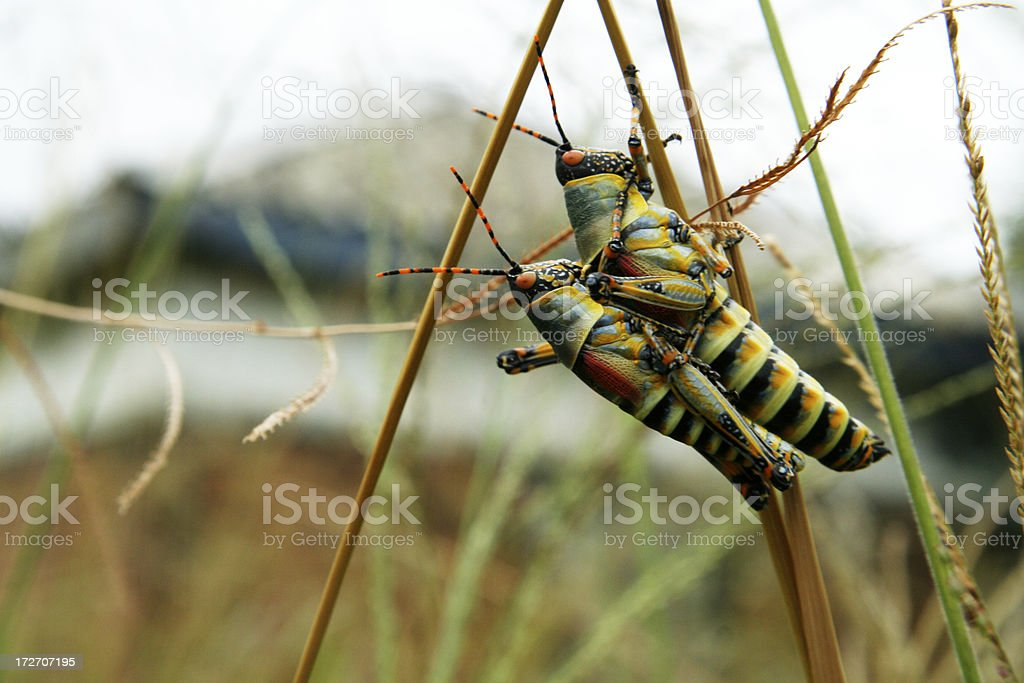 locusts royalty-free stock photo