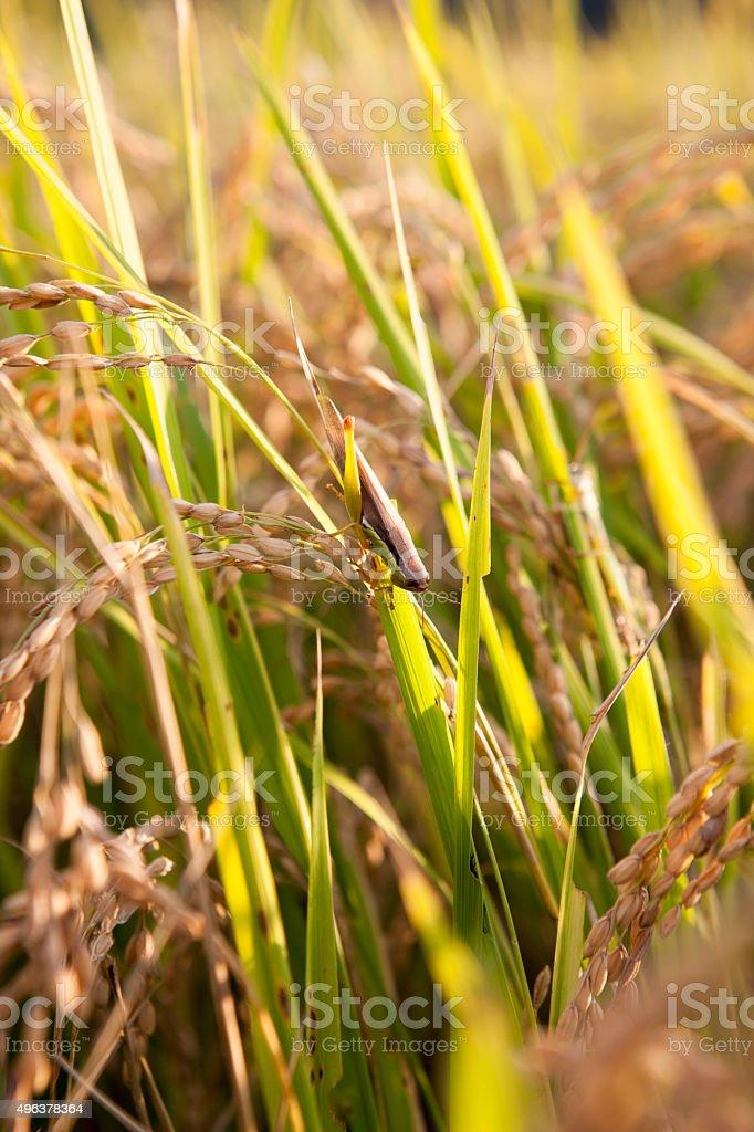 locusts; rice stock photo