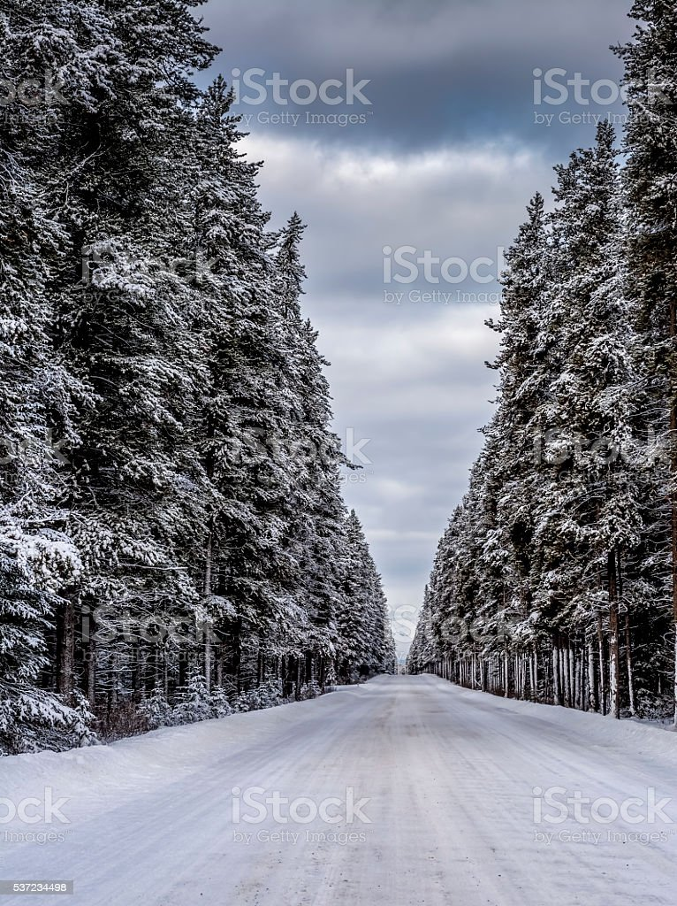 Lodgepole Pine Forest Banff National Park stock photo