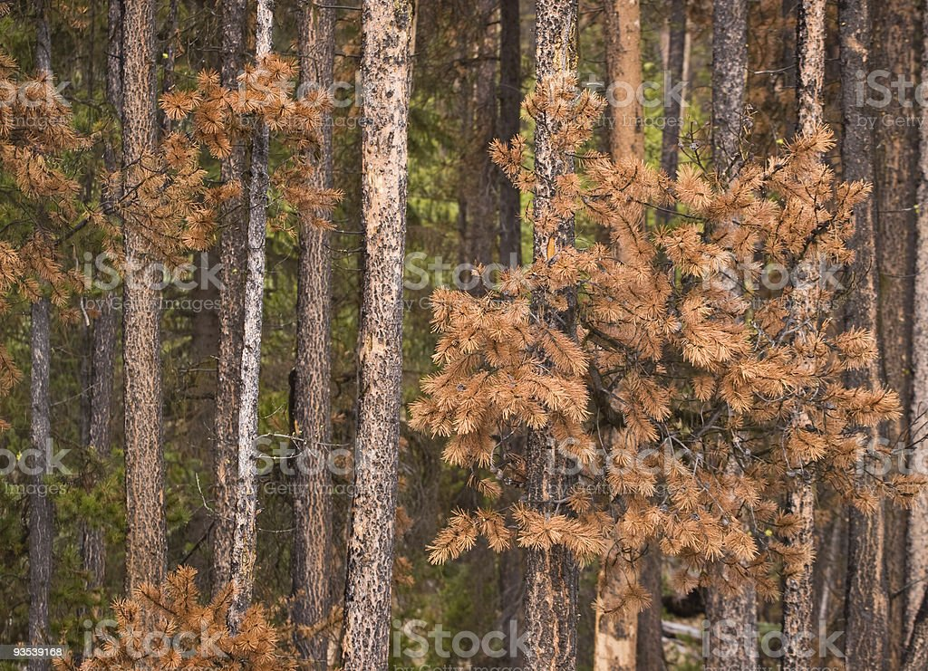 Lodgepole pine killed by bark beetle stock photo