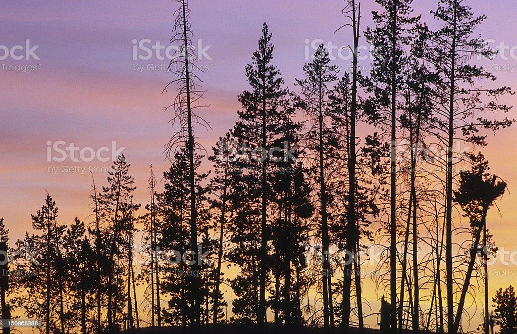 Lodgepole Pine Stand stock photo