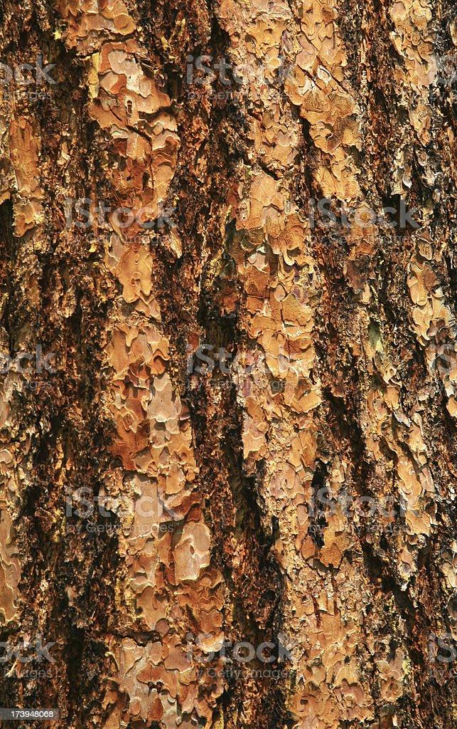 Lodgepole Pine Trunk stock photo