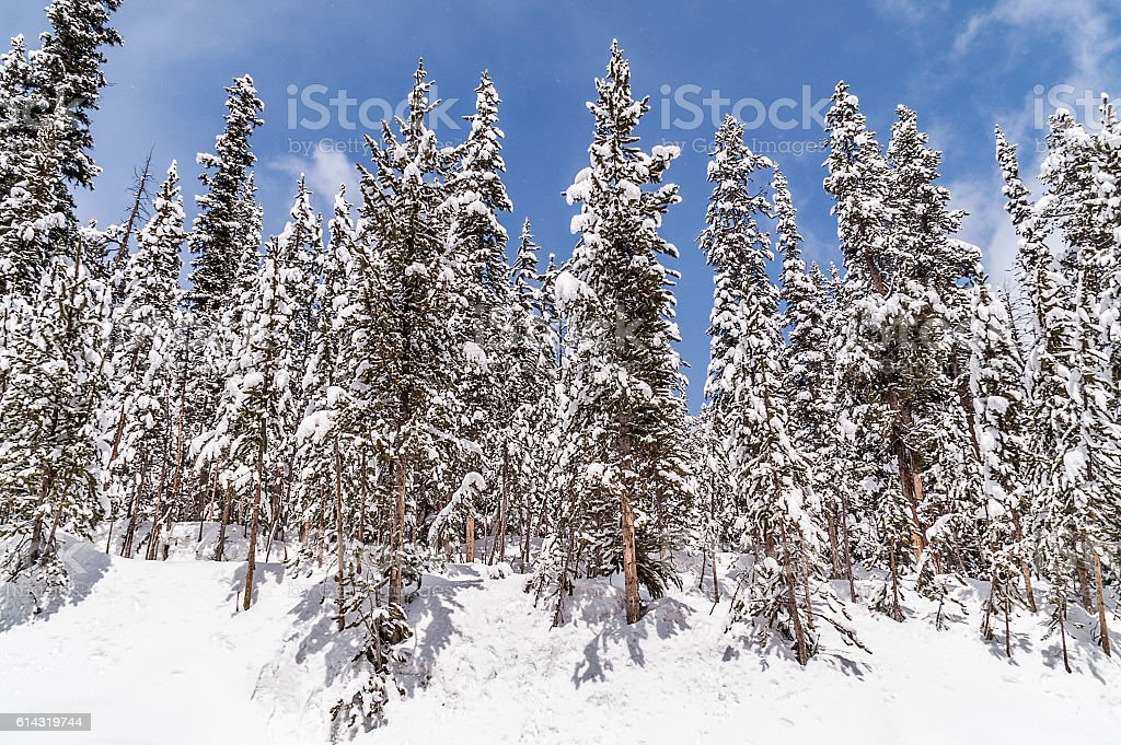 Lodgepole Pines Against a Blue Sky stock photo