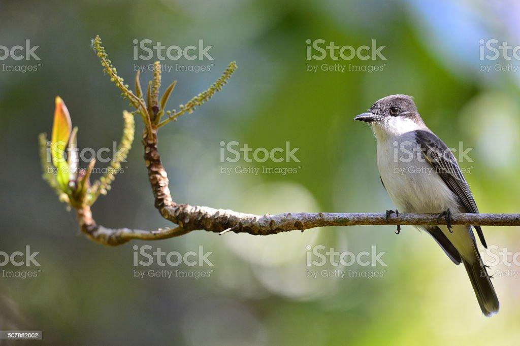 Loggerhead Kingbird stock photo